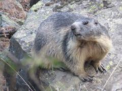 Suspicious looking marmot (Vincent_Thonnart) Tags: marmot marmotte murmeltier