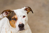 _MG_1054 (Mike Sinko) Tags: photography dogs beagle jackrussell pitbull animals cute dogphotography pets petportrait