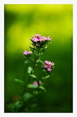 IMGP7542-1 (angel.doychinov) Tags: smc pentaxm 50mm bokeh flower nature k5 oldlens