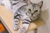 DSC02845 (Wang Foto - 0969 92 97 91) Tags: cat cute pet photography animal cuties kitten kitty lovely tiny mycat babycat sonya7r carlzeiss scottishfold britishshorthair scottishcat catphoto cutecats wangfotovn