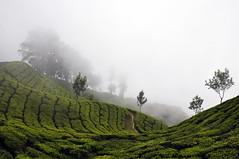 India - Kerala - Munnar - Tea Plantagen - 202 (asienman) Tags: india kerala munnar teaplantagen asienmanphotography