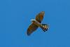 Cooper's Hawk, Lily Pond, ACK (LeeDunnPhotos) Tags: bif coopershawk edieray lilypond verntributeweekend