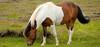 IJslandse paard/ Icelandic horse (Meino NL OFF LINE) Tags: ijslandsepaard icelandichorse ijsland iceland equusferuscaballus paard horse
