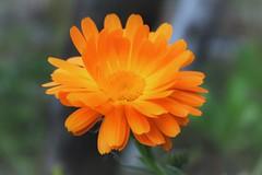 Sunburst (PixelKosm) Tags: blume sun flower flowerpower orange sunny green nature naturephotography detailed beautifulearth immenstadt allgäu canoneos1300d canon macro closeview