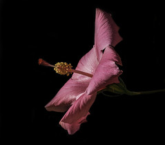 Pink Hibiscus In The Early Morning Light (Bill Gracey 17 Million Views) Tags: hibiscus fleur flower flor pink color colorful sidelighting sidelit sidelight naturallight nature blackbackground lakeside garden textures clarity sharp