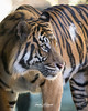Langka (ToddLahman) Tags: sandiegozoosafaripark safaripark sumatrantiger mammal male langka tiger tigers tigertrail canon7dmkii canon canon100400 closeup portrait profile profileheadshot beautiful outdoors escondido eyelock exhibitb