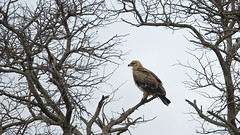 Tawny Eagle (Rez Mole) Tags: tawny eagle aquilarapax