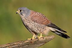 Kestrel  M (drbut) Tags: kestrel falcotinnunculus birdofprey falcon bird falconidae birds nature wildlife trees canonef500f4lisusm