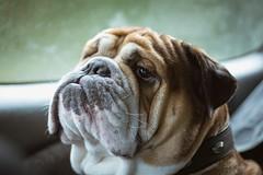 Gustav aka the boss (greatandwow) Tags: canon photography dog bulldog bulldogs model style nice fotografie igers germany motivation