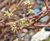 Plants_OB_19 (NRCS Montana) Tags: rhus trilobata skunkbush sumac plants
