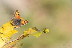 """""""Ailes déployées"""" (regisfiacre) Tags: lycaena phlaeas cuivré commun papillon butterfly schmetterling farfalle insect insecte insekt bug bugs ailes wings nature sauvage wild wildlife macro macrophoto macrophotography macrophotographie canon 5div mark iv 4 plein format full frame sigma 150mm apo ex dg os hsm moselle france"""