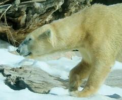 Polar Bear (Pix.by.PegiSue>Thx 4 over 5M+ views! See my Albums) Tags: polarbear bear animals allrightsreservedcopyrightpixbypegisue