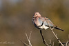 Laughing dove (mayekarulhas) Tags: krugerpark mpumalanga southafrica za laughing dove bird avian wild wildlife canon