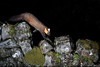 Pine marten (Mike Mckenzie8) Tags: camera trap pir martes highland scotland wild wildlife nocturnal flash photography canon camtraptions stone wall winter coat