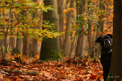 IMG_012268 - Hide-and-seek (Monique van Gompel) Tags: 7dwf dog autumn fall zaynah canecorso tamronsp90mmf28dimacro11vcusd tamronsp90mm canoneos80d pets herfst woods hideandseek scenery autumncolors