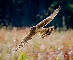 Backlit Harrier. (tresed47) Tags: 2017 201711nov 20171103bombayhookbirds birds bombayhook canon7d content delaware fall folder harrier northernharrier november peterscamera petersphotos places season takenby us