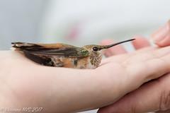 Catch and release (SF knitter) Tags: arizona sedona southwest verdevalley banding bird desert hummingbird rufoushummingbird tagging
