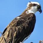 Circling The Osprey. (Explored) thumbnail