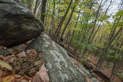 Timber rattlesnake wide angle portrait (mperez171) Tags: timber rattlesnake crotalus horridus venomous snake crotalinae herp reptile herping nikon d810