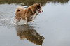 11/12/A tasku - puddle wonderful (sure2talk) Tags: tasku finnishlapphund puddlewonderful wet water puddle reflection splash newforest fritham nikond7000 nikkor70300mmf4556afsifedvr 12monthsfordogs 12monthsfordogs17 1112a explore motion action sundaylights animal