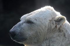 Eisbär Taiko im Zoo de La Flèche (Ulli J.) Tags: zoo frankreich france frankrig frankrijk paysdelaloire sarthe loir anjou maineangevin laflèche eisbär polarbear ourspolaire isbjørn ijsbeer jegesmedve белимедвед