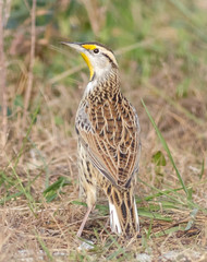 Eastern Meadowlark (tresed47) Tags: 2017 201711nov 20171114bombayhookbirds birds bombayhook canon7d content delaware easternmeadowlark fall folder lark november peterscamera petersphotos places season takenby us