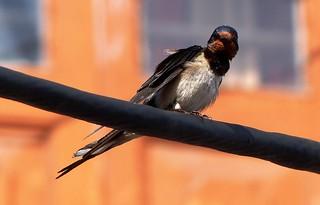 Barn Swallow - Western Himalayas ~2100m (6837 ft)