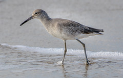 Willet at Frisco Pier (MurrayH77) Tags: nc obx frisco outer banks hatteras island bird beach willet