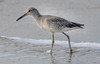 Willet at Frisco Pier (MurrayH77) Tags: nc obx frisco outer banks hatteras island bird beach willet
