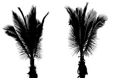 Twins (fxdx) Tags: twins palmtree tree monochrome mono bw nb high contrast lf1