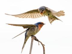 Welcome Swallows (Jaims Gibson) Tags: newzealand jamesgibsonphotography httpswwwjamesgibsonphotographycom traviswetlands bird wing swallow welcomeswallow christchurch