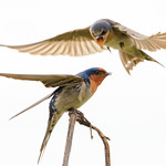 Welcome Swallows thumbnail