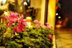 Walking in the night... #Alghero (clausterrible) Tags: alghero viaroma carrer calle fiori notte noche night flowers flores walking paseada passeggiata sony sonya5100 alpha5100 atmosfera