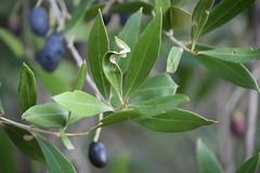 Hojas de olivo deformadas (esta_ahi) Tags: pedreradelarboçar hoja deformada olivo olivera olea europaea oleaeuropaea oleaceae árbol árboles cultivados flora olives olivas aceiturnas olèrdola penedès barcelona spain españa испания