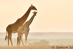 Maasai Giraffe  (Giraffa camelopardalis tippelskirchi), Kenya (Samson So Photography) Tags: giraffacamelopardalistippelskirchi kenya africa maasaigiraffe