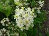 Constellation (Lexie's Mum) Tags: continuing30dayswild walking walks walkingthedog nature wildlife scenery floraandfauna white petals