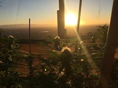 IMG_5910 (CannaPsy) Tags: medicalcannabis medicalmarijuana cannabis organic sungrown truelivingorganics notill weed ganja herb dank caliweed cleanmeds ecofriendly legalization warondrugs prohibition