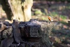 Robin Rat (simon.williams28) Tags: birds wildlife northeast twitcher woodland woodlandbirds gardenbirds gosforthparknaturereserve natture nature naturereserve