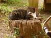 切り株にゃんこ (hamapenguin) Tags: animal cat straycat 猫 ネコ 野良猫