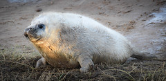 Seal Pup (littlestschnauzer) Tags: white seal pup young nature wildlife animal baby 2017 december youngster seals grey fluffy cute adorable british uk donna nook lincs coast beach