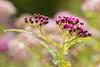 Délice de printemps (Mariette80) Tags: gouttelettes gouttes spiréeanthonywaterer pink