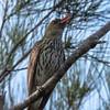 Carolling in the Casuarinas (armct) Tags: oriolussagittatus bird australianwildlife d810 80400 nikon queensland goldcoast estuary lagoon currumbin oriole olivebackedoriole