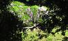 Wisteria, Huntington Gardens, CA. (BudCat14/Ross) Tags: gardens wisteria angles huntingtongardens california floral flowers