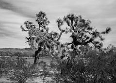 Joshua Tree in the Sonoran Desert (Laveen Photography (aka cyclist451)) Tags: az arizona douglaslsmith joshuatree laveenphotography wickenburg cowboys cyclist451 desert environment landscape naturalsetting nature photograph photographer photography roadtrip wwwlaveenphotographycom yucca