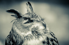 What are you talking about? (bharathputtur122) Tags: blue eagle european owl question confused funny bird d7000 70300mm vr nikon cold tone