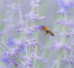 Beeing busy. (Omygodtom) Tags: leica lavender flower flickr honeybee insect elitebugs existinglight macro bokeh macrodreams tamron tamron90mm nikkor natural nature nikon dof d7100 detail camera walking park