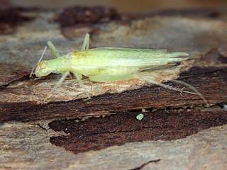 Narrow-winged Tree Cricket female Oecanthus fultoni