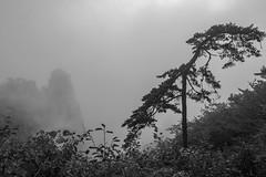Windblown (tmeallen) Tags: huangshanpine pinushwangshanensis windblown scultturedbywinds granitepeaks mists clouds strongwinds huangshannationalpark yellowmountains unescoworldheritage anhuiprovince china