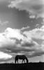 penny hill 2 (Jen MacNeill) Tags: ladygrey film blackandwhite bnw equine mood horse horses twh hill clouds cloudy silhouette bigsky pa pennsylvania d76 ladygreylomographyfilm homeprocessed dramatic filmphotography jennifermacneill pentaxk1000