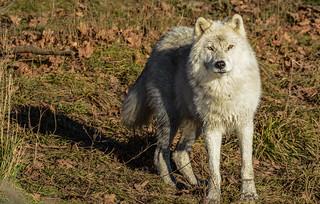 Arctic Wolf, Loup Arctique, Canis Lupus Arctos, Lobo Artico, Lobo Polar, Lobo Blanco, Arctische Wolf
